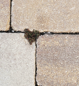 This unexpected beauty was discovered growing between the cracks of pavers. A little love in unexpected places.